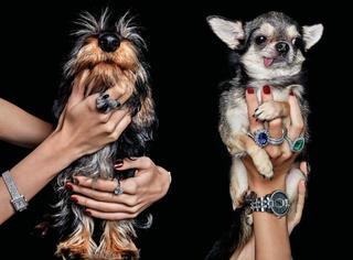 萌宠拍摄珠宝大片 你是喜欢珠宝还是喜欢狗狗呢?