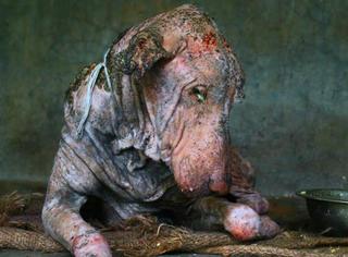 这只全身腐烂、惨不忍睹的狗狗,在两个月后发生了惊人的变化...