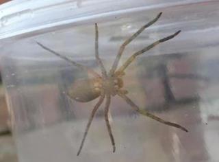 惊呆!它是小强杀手,它是新晋宠物,它是无公害蜘蛛!