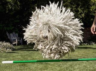 它不是一个拖把,这富豪狗狗的身价至少比你多一亿倍!