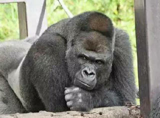 日本名古屋一大猩猩推出了个人写真,你们感受一下...终于可以更新一自己的表情包了