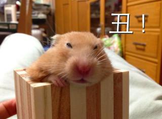 """日本举办""""世界最丑仓鼠选拔大赛"""",丑成这样怪我咯"""