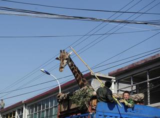 闯电线、过大树!长颈鹿的搬家之旅不容易啊!