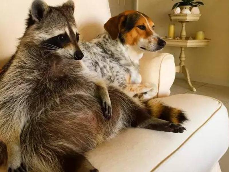 一只以为自己是狗的浣熊