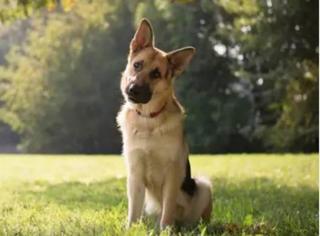 狗听我们说话时为何会歪着头?