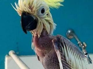 惨!一只患上忧郁症的鹦鹉,竟自残成了这幅模样...