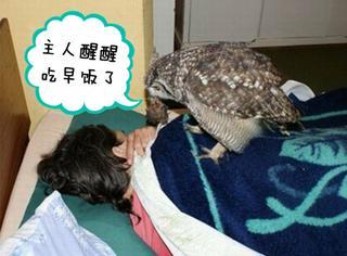 连续4年为主人送食物的猫头鹰萌化无数人,但这背后还有更感人的故事!