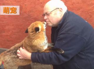 萌宠丨这只小狐狸竟记得7年前的救命大叔,一下扑进他怀里