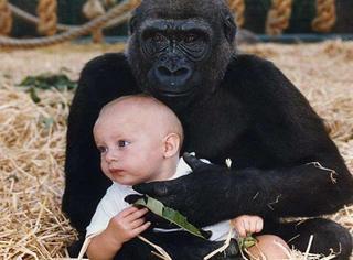 萌宠 | 1岁半小女孩的玩伴竟然是大猩猩,20多年后奇迹发生了!