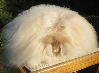 """萌!这团""""棉花糖""""的毛长到破纪录,其实它是一只…"""