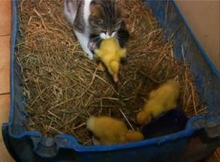 萌宠 | 这只母猫把3只孤零零的鸭子咬回了窝,之后惊人的事情发生了!