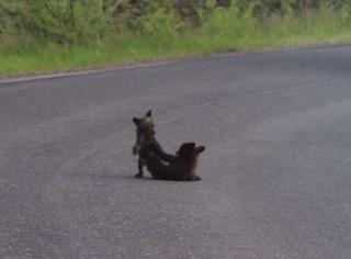 萌宠 | 两只打架的小熊造成了山路大塞车,但所有人都恨不得再塞久一点!