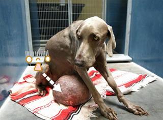 去TMD死亡通知书,看狗坚强如何击败巨型肿瘤!