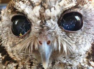 萌宠 | 它是失去视力的猫头鹰,但眼里拥有整个宇宙!