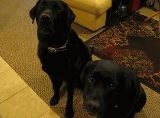 萌宠 | 主人问狗狗谁偷了饼干,其中一只居然出卖了朋友3次!