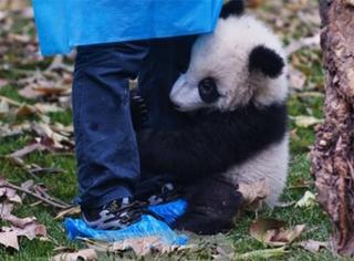 萌宠 | 熊猫向饲养员们施放了抱大腿技能,萌炸了!