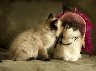 奶牛猫经常喜欢招惹白猫,但白猫却不搭理,有一天...