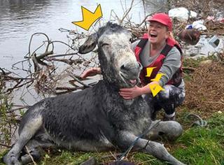 一驴被救后狂笑不止:爱笑的驴子运气都不会太差...