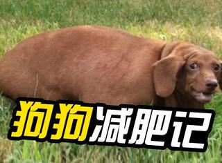 萌宠 | 甩肉40斤,狗狗逆袭成功瘦成一道闪电