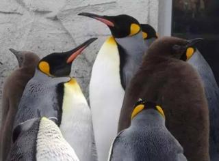 北海道动物园企鹅雪地散步开始