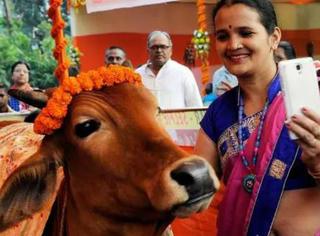 印度掀起与母牛自拍的热潮