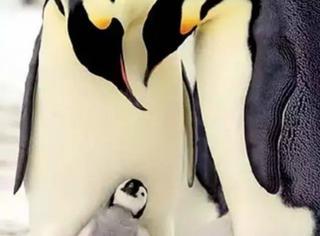 三分钟看完今年最棒的纪录片:BBC年度企鹅大戏!