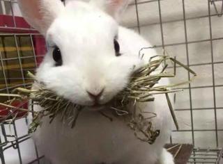 日本最近比较红的一只兔子