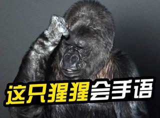 """会1000多个手语单词的大猩猩,它在宣传片里说的""""话""""让人们深思"""
