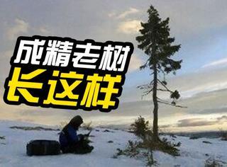 瑞典发现9500岁云杉古树,盘点世上还有哪些成精的树