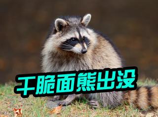 萌宠 | 抢猫粮、偷爆米花,这个小浣熊真是动物界的最强吃货!