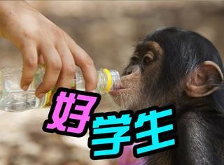 萌宠|这些孤儿猩猩成为了几内亚黑猩猩救护站中的好学生!