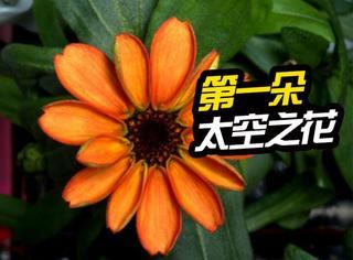 NASA在太空成功培育第一朵绽放的菊花!
