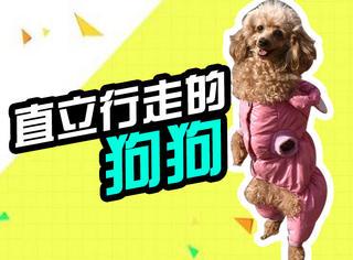 萌宠 | 这只狗狗可以直立行走1公里,但它背后的故事让人心疼!