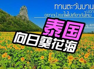 【过年出去浪】泰国金黄向日葵花海正开放,黄金都比不上它的美!