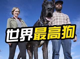【萌宠】高2.1米重151斤,美国大丹狗在申请世界最高狗纪录