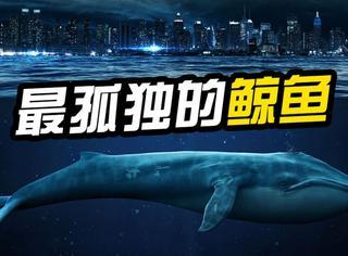 世界上最孤独的鲸鱼,在海里游了20多年没有同类