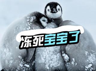 零下24度,南极企鹅宝宝抱抱取暖
