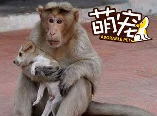 【萌宠】印度小猴收养流浪狗,做起全职麻麻