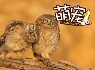 【萌宠】猫头鹰开启虐狗模式:撒娇打滚求抱抱
