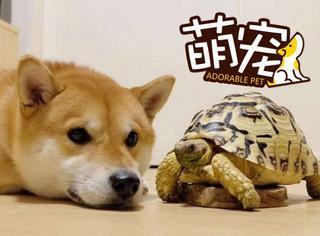 【萌宠】2货柴犬因太爱乌龟伙伴,行为也变龟毛了...