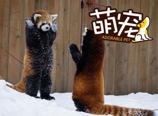 【萌宠】别动,我是警察!俩红熊猫雪地玩起了游戏