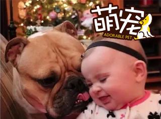 【萌宠】这只凶巴巴的斗牛犬被一个小宝宝征服了!