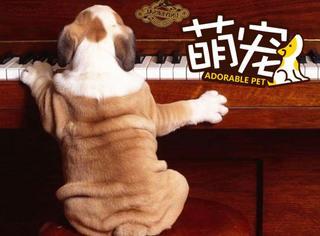 【萌宠】主人听见客厅传来钢琴声,发现单身狗孤独哀嚎...