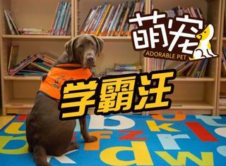 【萌宠】学霸中的战斗汪:汪星人学习一年半竟能识字!