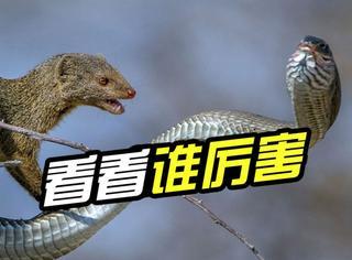 """现实版""""螳螂捕蝉黄雀在后"""":树蛇捕食反被猫鼬拿下"""