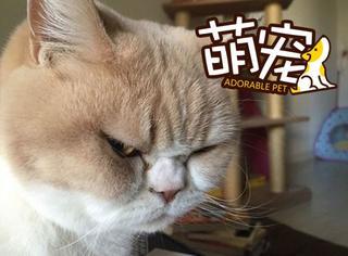 【萌宠】日本愤怒猫横空出世:还不给朕跪下!