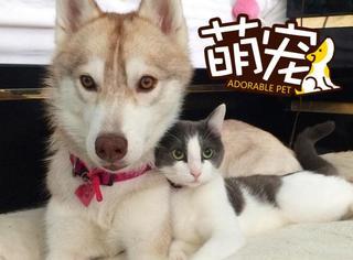 【萌宠】被哈士奇收养后,这只流浪猫彻底变成一条汪...