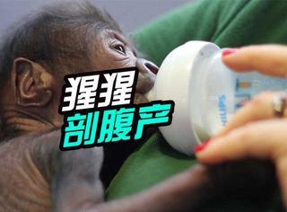 英国第一只剖腹产成功出生的猩猩:已被萌化!