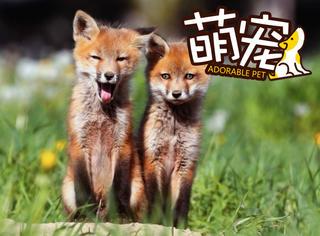 【萌宠】英国退休大叔竟然把两只狐狸养成了自己的儿子!