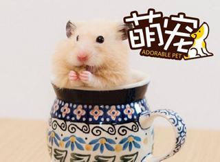 【萌宠】仓鼠里的小吃货,一吃就停不下来